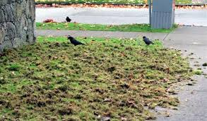 chafer-beetle-crows